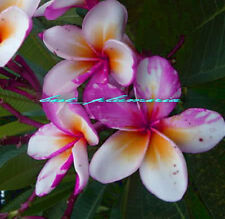 Plumeria Seeds/Flowers/Ngamvilai/Fresh 102 seeds!!