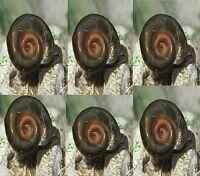 6 Live Ramshorn Cleaner Snails Mixed Sizes Aquarium Freshwater Planorbidae