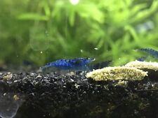 New listing 8 Blue Velvet Shrimp (Neocaridina davidi) Live Freshwater Aquarium Fish