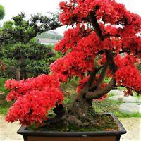 10pcs New Red Japanese Sakura Seeds Cherry Blossom Flower Bonsai Rare Seeds Tree