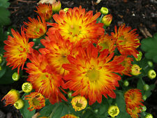 "HARDY MUM - MUMS - DAZZLING STACY ORANGE - CHRYSANTHEMUM - 2 PLANTS - 3"" POTS"