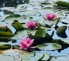 Red pink white Water lilies pot luck pond plants