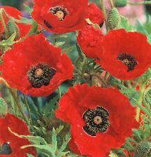 Summer Light H5 (-15 to -10 °C) Perennial Flowers & Plants