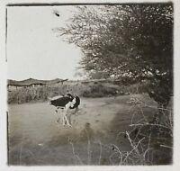 Africa Struzzo Foto NE12 Placca Da Lente Stereo Vintage Ca 1910