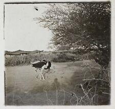 Afrique Autruche Photo NE12 Plaque de verre Stereo Vintage ca 1910