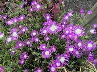 Delosperma Seeds Ice Plant Table Mountain Perennial Seeds 50 Pelleted Seeds