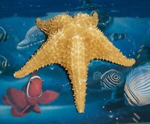 "7"" BAHAMIAN STARFISH SEA SHELL BEACH DECOR NAUTICAL TROPICAL REEF CRAFTS"