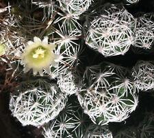 Thimble Cactus - Mammillaria gracilis v. fragilis | 2 Succulent Cactus offsets