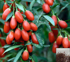 500 semillas//0.50 Gr zaden graines samen, -28 lycium ruthenicum Negro goji