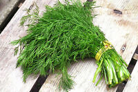 Seeds Dill Kustovou Vegetable Organic Heirloom Russian Ukraine