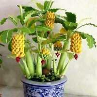 100 Stk Zwerg Bananenbaum Samen Mini Bonsai Pflanze Seltene Früchte Garten K7V3