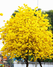 Golden Trumpet Tree   Tabebuia chrysotricha   120 Seeds