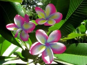 """""""PILAWAN"""" FRAGRANT Plumeria Cutting Healthy Plant Fresh 7-12 INCH+ROOTED"""