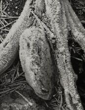 1950s Vintage ANSEL ADAMS Abstract Yosemite Frost Tree Stump Photo Engraving Art