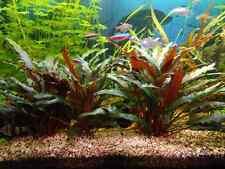 2 pot de cryptocoryne beckettii  plante aquarium rare  discus nano bac
