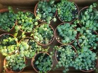 "Peperomia Prostrata ""String of Turtles"" well rooted, Houseplant"