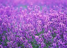 100Pcs English Lavender Hidcote Lavandula Angustifolia Herb Home Garden Planting