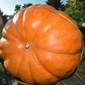 10 Super Max Pumpkin Seeds