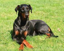 Doberman Pinscher / Dog 8 x 10 / 8x10 Glossy Photo Picture Image #2