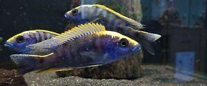 MALAWI CICHLID SULPHUR HEAD HAP 5-6inch, males only
