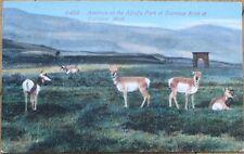 Gardiner, Montana MT 1910 Postcard: Antelope on the Alfafa Park at Entrance Arch