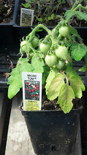 25 Tomato Seeds Micro Tom Worlds Smallest Tomato Plant Garden Starts