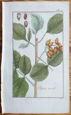 ZORN Rare Colored Print Pistacia vera Pistachio - 1796