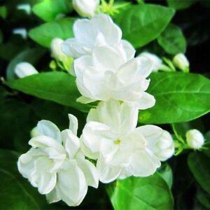 20PCS White Jasmine Seed Flower Fragrant Plant Arabian Bonsai Potted Home Garden