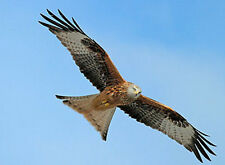 THE RED KITE - BRITISH  BIRD SERIES - QUALITY MOUSE MAT / PAD