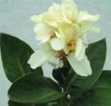 Canna - Tropical White - 5 Seeds