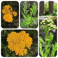 Rainfarn Tanacetum vulgare Heilpflanze Färberpflanze Bienenweide
