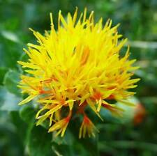 Carthamus Tinctorius - 100 Seeds - Safflower - False Saffron