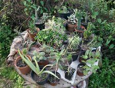 Lotto di cactus.400Talee tra cactus opuntia euphorbia senecio Stapelia crassula