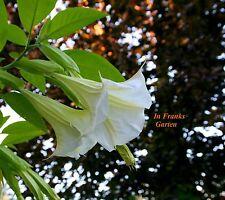 Brugmansia suaveolens @ Engelstrompete Weiß @ Kübelpflanze @ 5 Samen