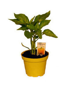 Gelbe Paprika Pflanze, Paprikapflanzen aus Nachhaltigem Anbau!