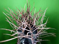 """50 Korn *SUIGYU-TAIHOGYOKU* Astrophytum capricorne """"Japan"""" Kakteen Ariocarpus"""