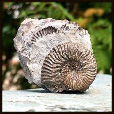 Ludwigia cf Obtusiformis Ammonite Fossil from Scotland - Jurassic - FSE349