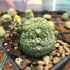 10 SEEDS Cactus Pseudolithos Migiurtinus Rare!