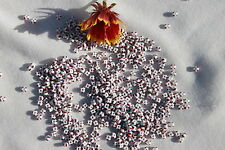 7/0 Special Stripes Limited White w/ Red & Dark Navy Blue Czech Seed Beads / 1oz