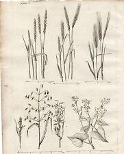 GRAVURE XVIIIe /  CINQ PLANTES A FARINE froment, Avoine, Sarrazin, seigle..