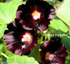 Rose trémière noir-althaea rosea nigra - 100 graines