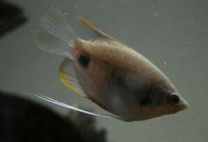 "Live Red-tail Giant Gourami *RARE 3"" Aquarium Fish* (PLS READ DESCR)"