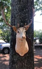 Non-Typical Mule Deer Mount/Antlers.Magnificent