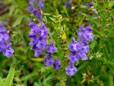 50 Graines Scutellaire du Baïkal, Scutellaria Baicalensis Huang-Qin seeds