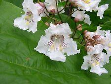 Northern Catalpa Tree Seeds (Catalpa speciosa), 50 seeds