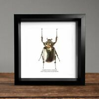 Giant Long Armed Scarab Beetle (Cheiroto Displayed in a Museum Quality Box Frame