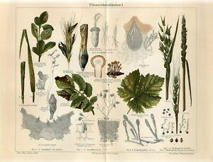 1895 PLANTS DISEASES MUSHROOMS FUNGI Antique Chromolithograph Print