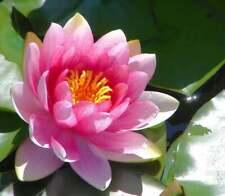 Pink Lotus Nymphaea Eldorado Asian Water Lily Pad Flower Pond 10 Seeds Free Ship