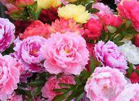 Flower - Peony seed 6 Seeds Fragrant  Garden Patio Bonsai yard  balcony