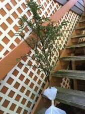 "Appalachian Mountain Grown Eastern Hemlock Evergreen Starter 36"" Tall Seedling"